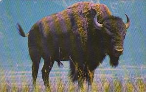 Bull Baffalo