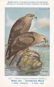 Milvus Migrans Black Kite WW2 Vintage Rare Bird Postcard