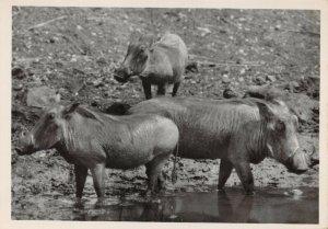 Vintage Postcard, No.16 Warthog Viakvark Kruger National Park, South Africa 20Y