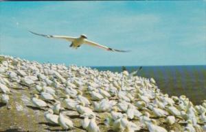 Canada Perce Bonaventure Island Gannets Nesting At Bird Sanctuary
