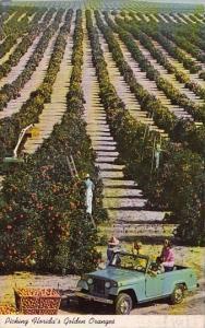 Florida Picking Florida's Golden Oranges