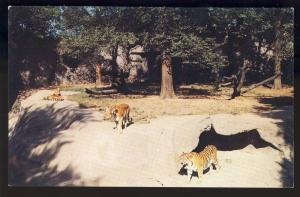 Detroit,Michigan/MI Postcard,Siberian Tigers/Zoological Park