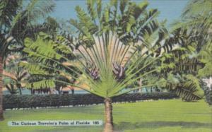 Florida Trees The Curious Traveler's Palm