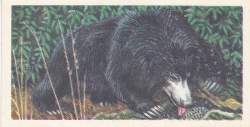 Trade Card Brooke Bond Tea Asian Wild Life No 22 Sloth Bear