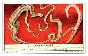 Flatworms Reproduce Schistosomiasis Bilharziosis Liebig Belgian Trade Card