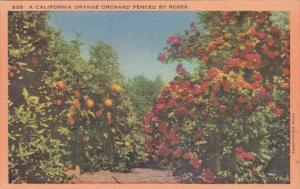 California Orange Orchard Fenced By Roses 1954