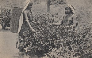 Tea Pickers , CEYLON , 00-10s