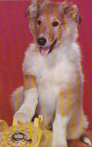 Dogs Young Collie On Telephone