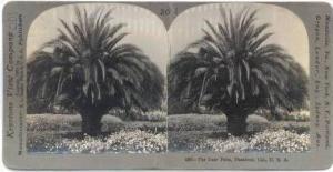 SV Date Palm, Pasadena, California 1906