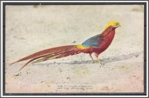 New York, Zoological Park Golden Pheasant - [NY-226]