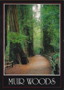 Giant Redwood Trees Muir Woods National Monument California