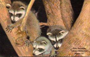 Florida Miami Tropical Hobbyland Baby Raccoons 1958