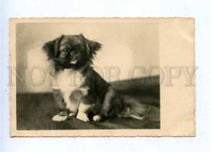 196320 GERMANY Pekingese dog Old photo postcard