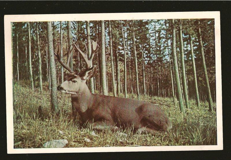 Canada Canadian Rockies Taylorchrome No 35 Mule Deer Postmarked 1950? Postcard