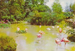 Singapore Flamingoes At Jurong Bird Park