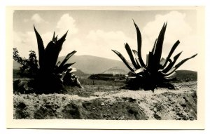 Mexico - Teotihuacan. Pyramid of the Sun, Yucca     *RPPC