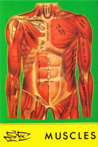 Muscles of the Human Body Chinese Diagram Postcard #2