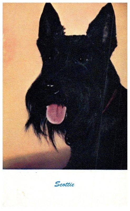 Dog , Scottie