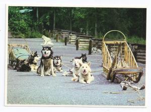 Alaska Dog Sled Team McKinley Park Husky Postcard e