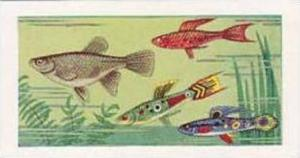 Amalgamated Tobacco Vintage Cigarette Card 1961 No 25 Guppy or Rainbow Fish