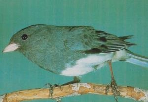 Dark Eye Eyed Junco Hyemalis Rare Bird Postcard