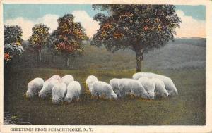 Schaghticoke New York Greetings Sheep Grazing Postcard JC627937