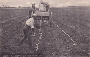 Sugar in Fiji , Dropping Cane sets from cart pulled by mule, 00-10s