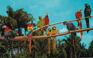 Florida Sarasota Jungle Gardens Colorful Macaws