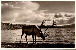 Iceland Islenskt Hreindyr Icelandic Reindeer Real Photo