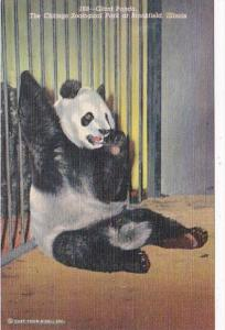 Illinois Chicago Zoological Park At Brookfield Giant Panda Bear 1954 Curteich