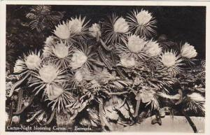 Bermuda Cactus Night Bloomig Cereus