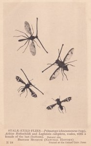 Stalk Eyed Flies Insects Achias Rothschildi Natural History Museum Old Postcard