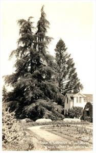 18317 CA Santa Rosa    Cedar of Lebanon, Luther Burbank Buried   RPC