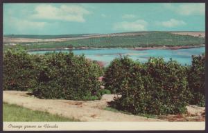 Orange Groves,FL Postcard BIN
