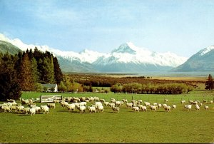 New Zealand Canterbury Mount Cook Glentanner Station Grazing Sheep
