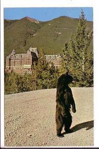 Black Bear, Banff Springs Hotel , Alberta, Canada
