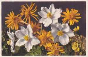 Switzerland Alpine Flowers Alpen Anemone & Gemswurz-Kreuzkraut