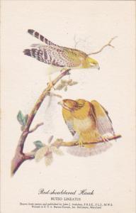 Red-shouldred Hawk Drawn By John J Audubon