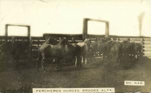 canada, BROOKS, ALTA., Percheron Horses (1910s) Mc Nab RPPC