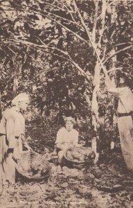 TRINIDAD , 1900-10s ; Picking Cocoa