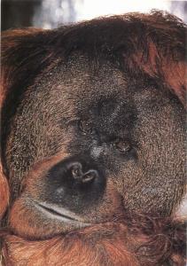Jersey Zoo orangutan postcard