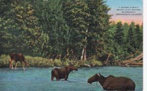 Minnesota Moose Family Rainy Lake Region Arrowhead Country