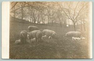 Farm Real Photo Postcard~Hogs in Field~New Baby Piglets~Broken Fence~c1912 RPPC