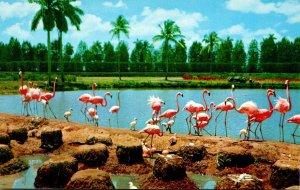 Florida Miami Flamingos and Nests At Hialeah Race Course