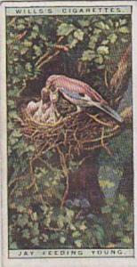 Wills Vintage Cigarette Cards Life In The Tree Tops Series No. 25 Jay Feeding...
