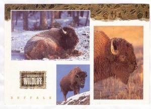3-Views, Wildlife, Buffalo, Wyoming, 50-70s