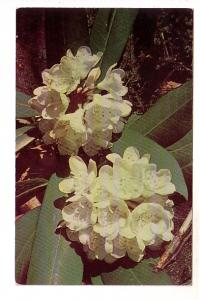 Close-up of Mountain Rhododendron, Somerset Post Card Company, Jennerstown PA