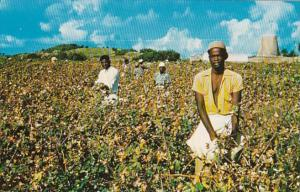 Antigua Cotton Picking