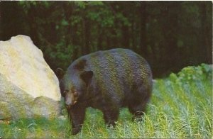 Black Bear Smoky Mountains National Park - 1950 Vintage Postcard