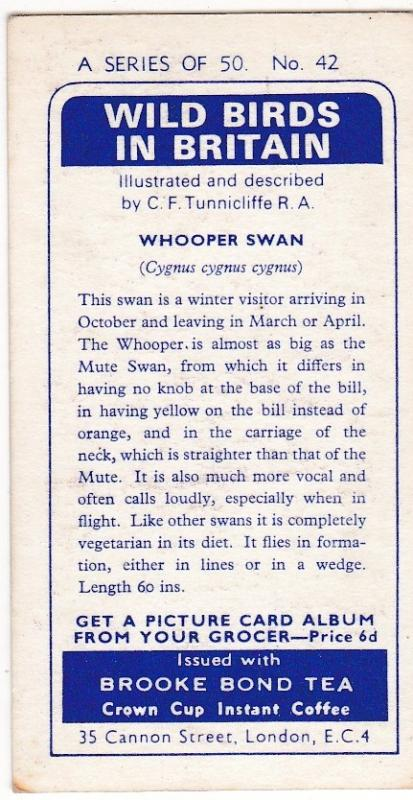 Trade Card Brooke Bond Tea Wild Birds in Britain 42 Whooper Swan